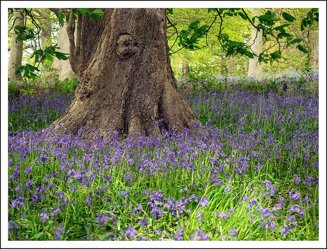 Bluebells at Nostell Priory.