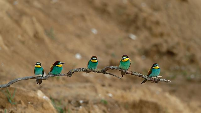 Merops apiaster - Guêpier d'Europe - European bee-eater
