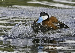Ruddy Duck - 2021-001