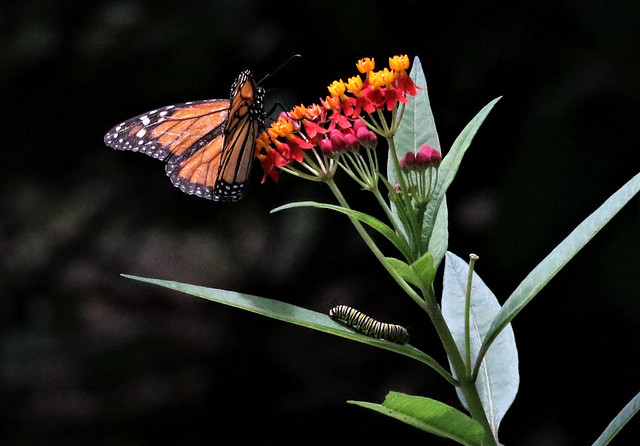 Monarch Butterfly and friend!