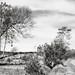 Crooked Tree & a Walker