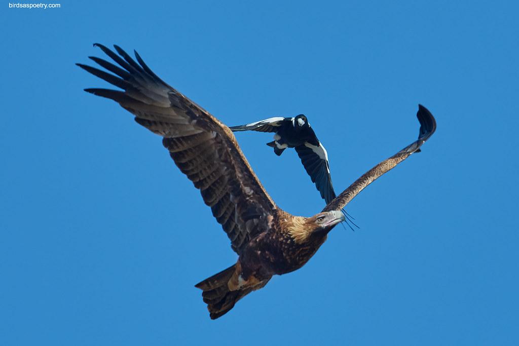 Wedge-tailed Eagle, Australian Magpie: On Ya Way Mate!