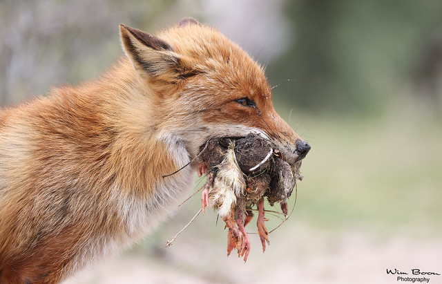 Life is battle -Red Fox-