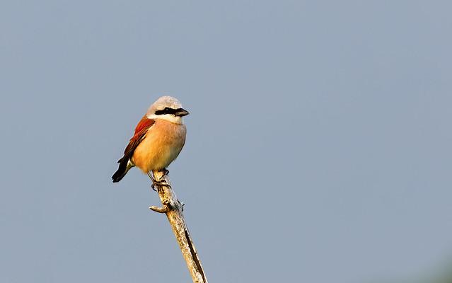 Red-backed Shrike Male  <>  Neuntöter