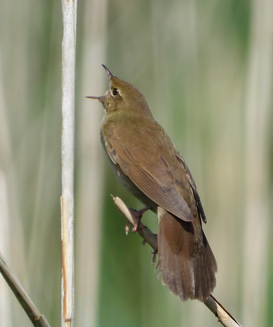 River Warbler in full song at Ham Wall RSPB Reserve.