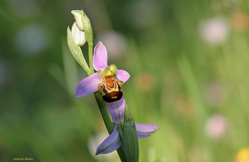 Ophrys apifera - ophrys abeille - Page 4 51242812327_e7bb5d6f49
