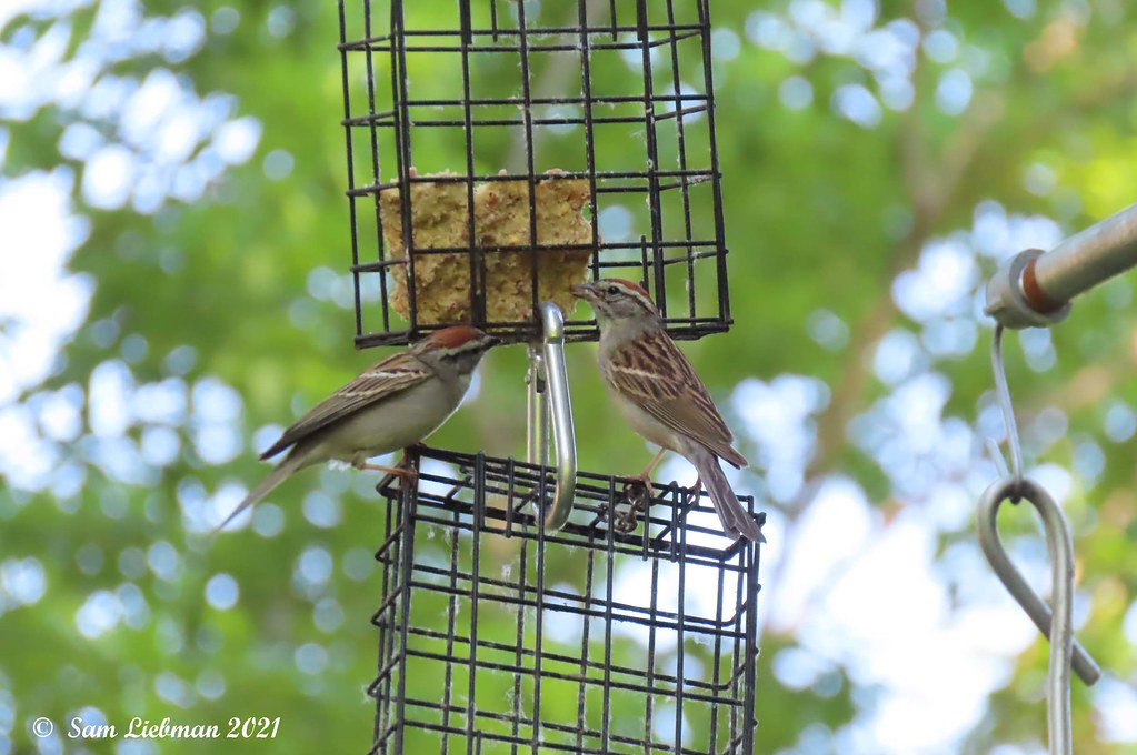 Chipping Sparrows  - Bruants Familier 7744 copy.jpgS