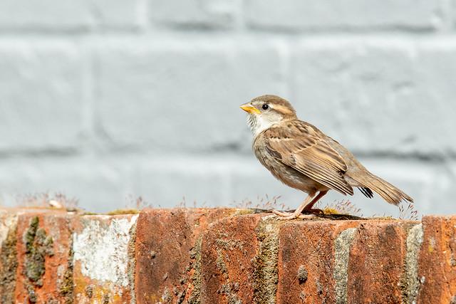 162-365v4 Fledgling Sparrow
