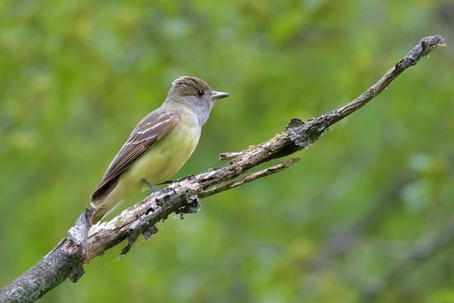 Great Crested Flycatcher - Tyran huppé