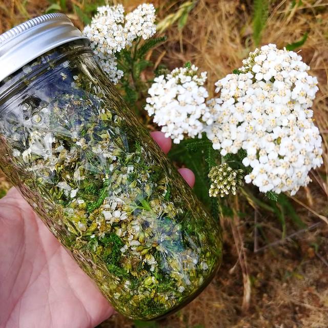 #wildcrafting #yarrow ...#forage #tincture #herbalmedicine #aromaticbitters #PNW