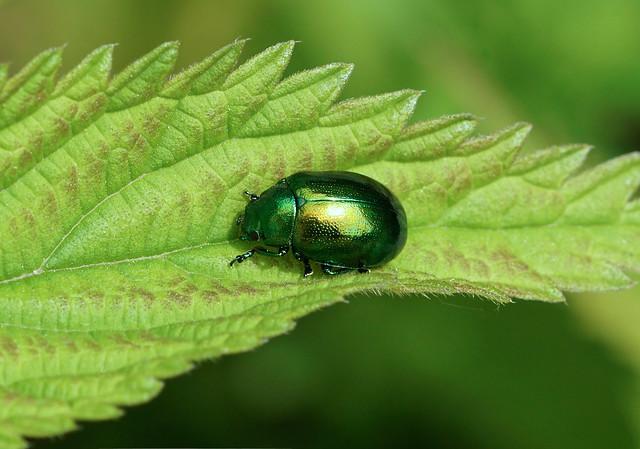 Mint Leaf Beetle --- Chrysolina herbacea