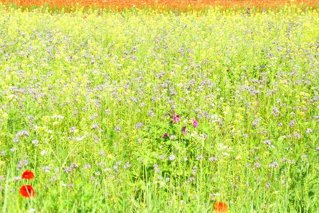 Juni 2021 ... Blumen- und Mohnwiesen in Mannheim-Seckenheim ... Brigitte Stolle