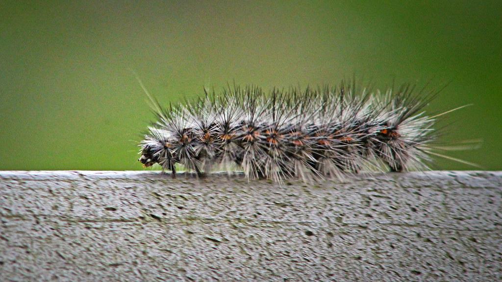 2021.04.24 La Chua Salt Marsh Caterpillar 2