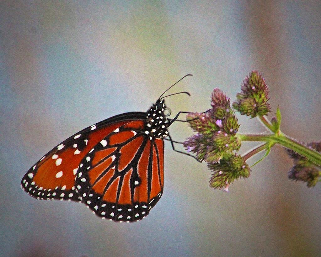 2021.04.24 La Chua Queen Butterfly 3