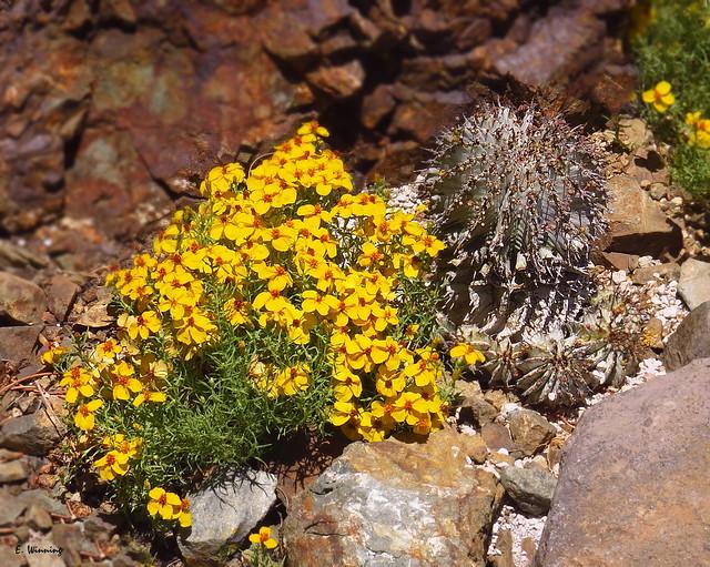 Zinnia grandiflora and Cactus 0985