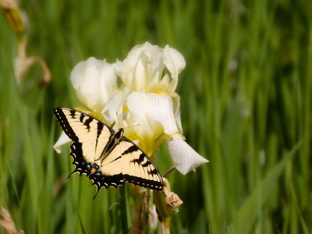Tiger Swallowtail ♀