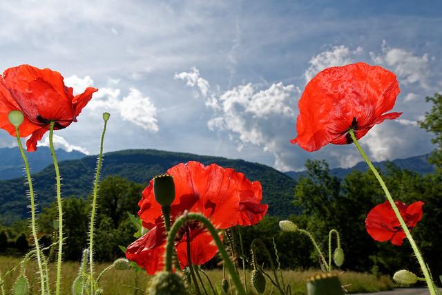 Poppies (explored)