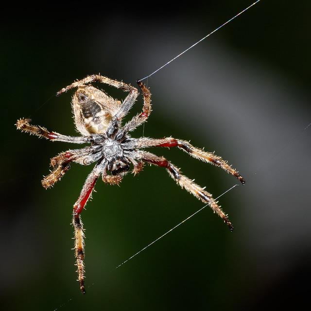 Garden Orb Spider (025/100)