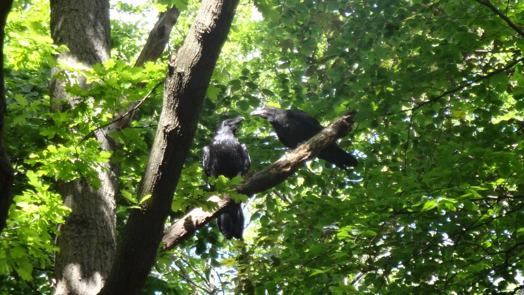 Kolkraben (corvus corax) nahe Bellevueallee im Großen Tiergarten Straße des 17. Juni in 10557 Berlin-Tiergarten