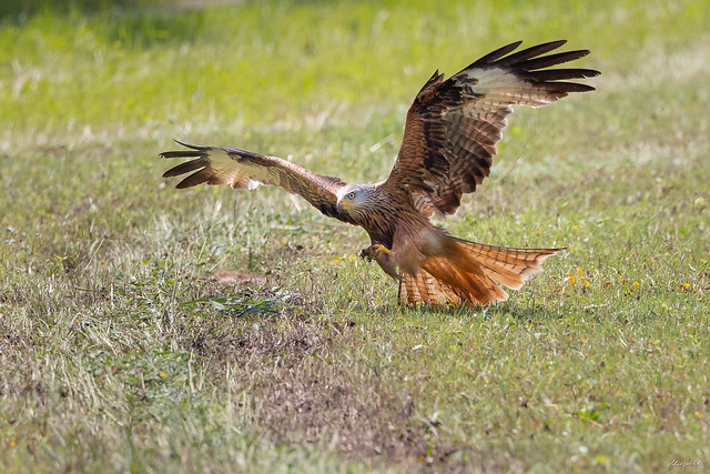 Red kite focuses on its prey - a dead hare