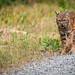 Finley Bobcat Week 3 1