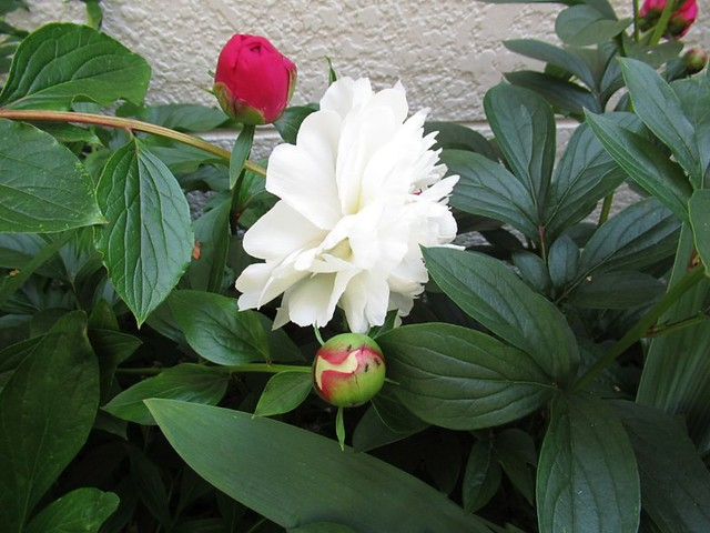 white and red peony