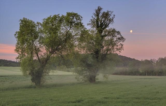 *willows at dawn*