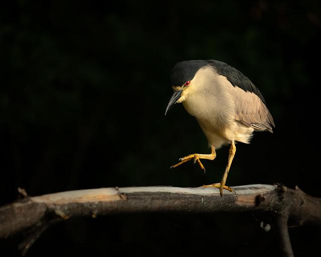 Night heron stalking fish