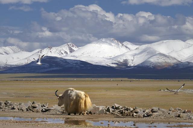 White Yak at lake Namtso, Tibet 2019