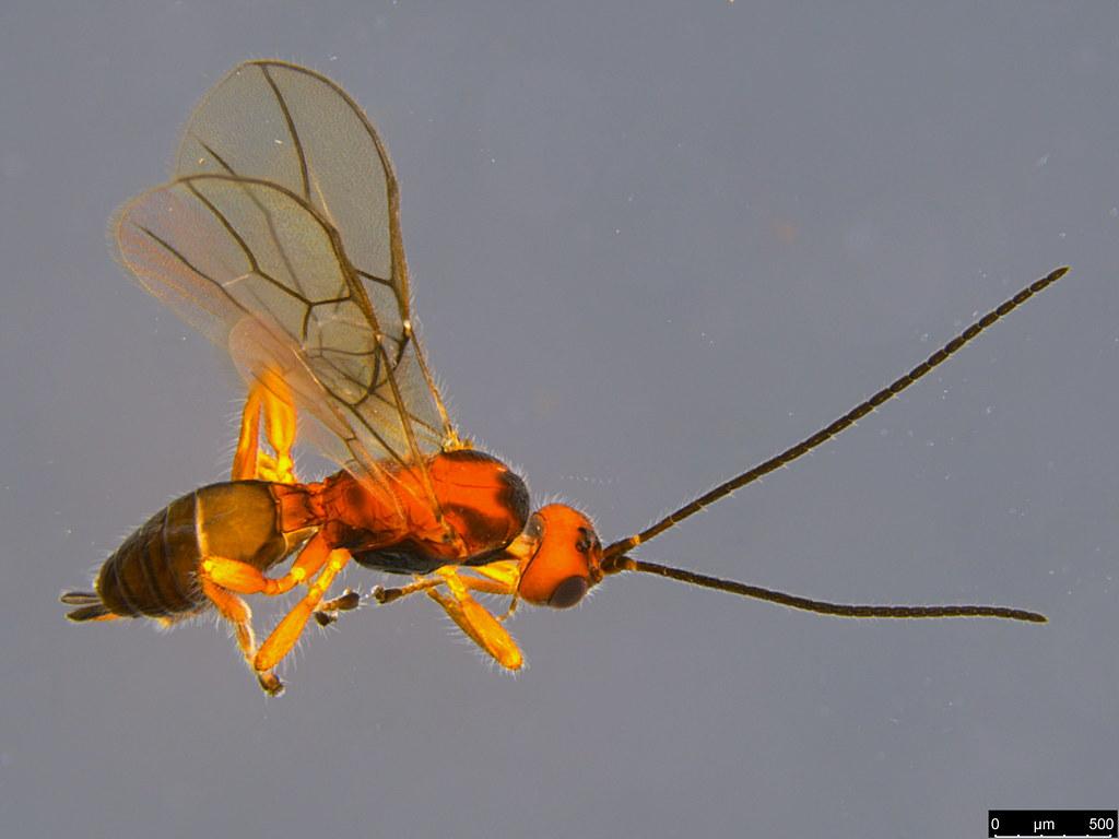 11b - Braconidae sp.
