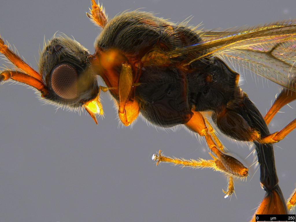 17b - Diapriidae sp.