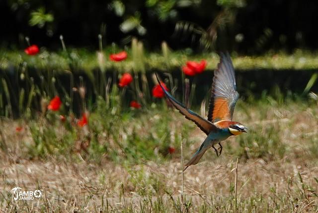 Volando tra i papaveri