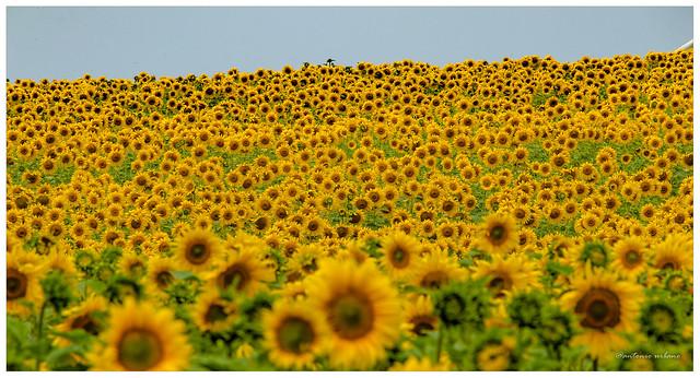 Mar de Girasoles // Sunflowers Sea