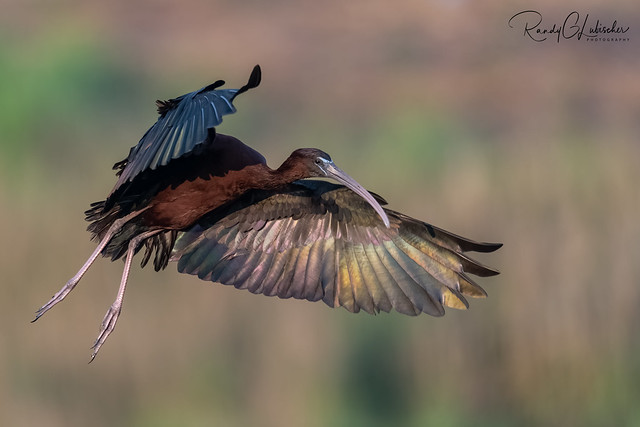 Glossy Ibis  | Plegadis falcinellus | 2021 - 1