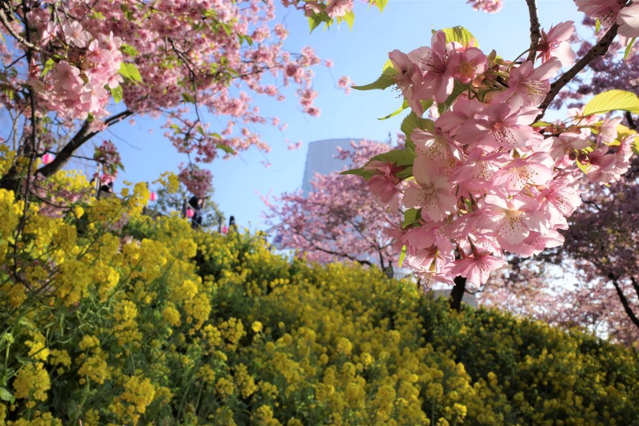丹沢・松田山の河津桜と菜の花