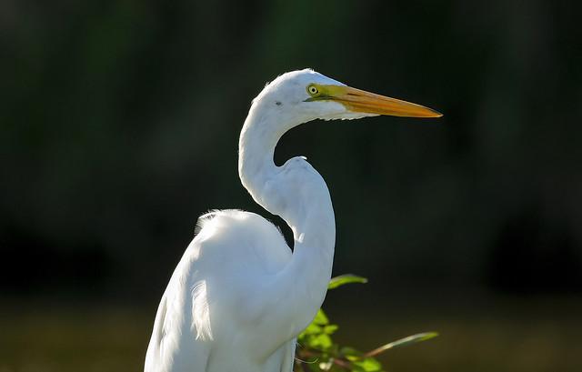 Great egret / Mjallhegri (Ardea alba)
