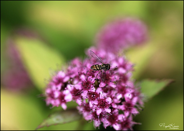Hoverfly On Spirea...