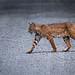 Finley Bobcat Week 3 2