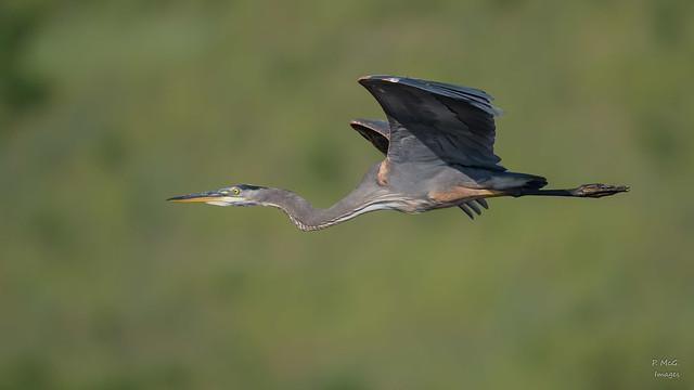 Great Blue Heron 0586