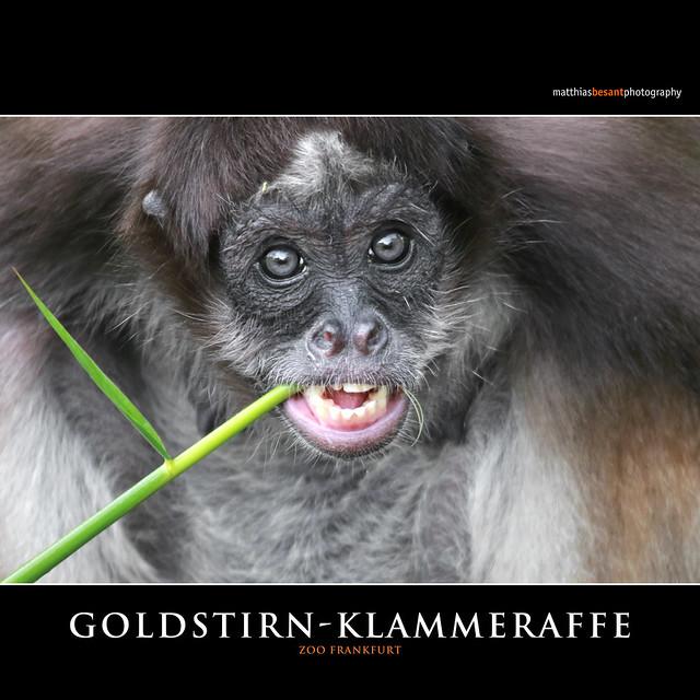 Goldstirn-Klammeraffe