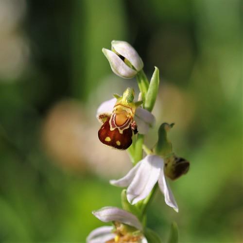 Ophrys apifera - ophrys abeille - Page 4 51243378330_d6e2a6a8b2