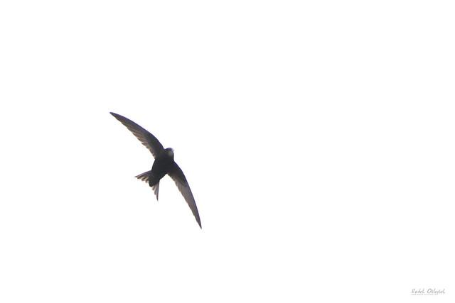 Common swift, rorýs obecný, CZE, 2021