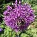 Buff tailed Bumblebee on Allium Purple Sensation