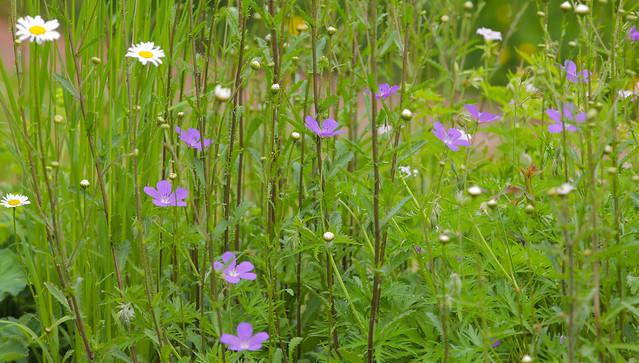 Little Garden Meadow..