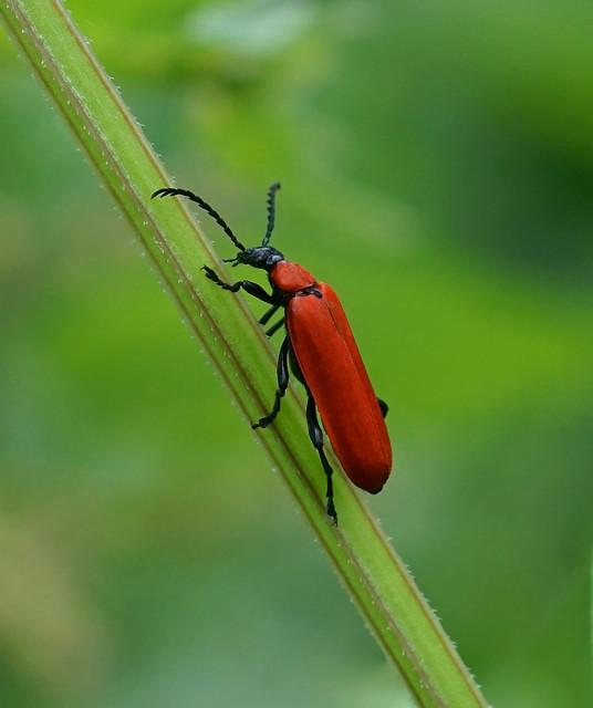 Black-headed Cardinal Beetle --- Pyrochroa coccinea