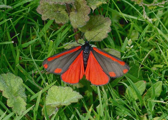 Cinnabar Moth --- Tyria jacobaeae