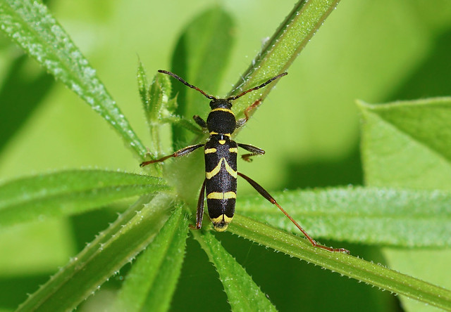 Wasp Beetle --- Clytus arietis