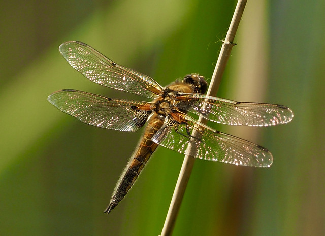 Four-spotted Chaser (m)