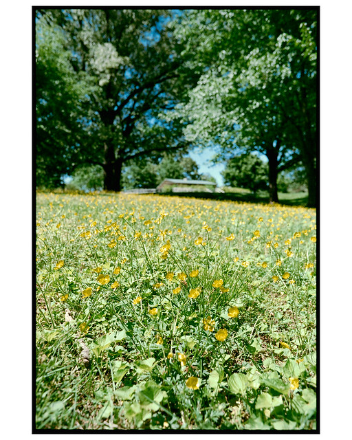Buttercups At Forest Hills