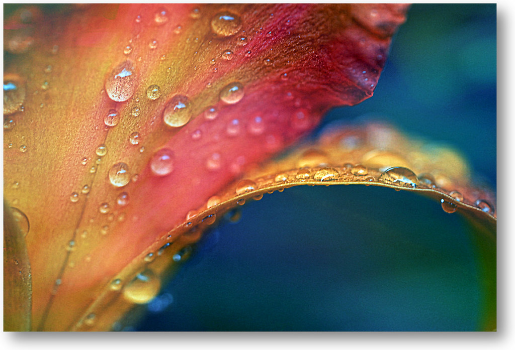 drops on the Lily. A Slider :-)